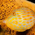 Mosaic Leatherjacket off Bare Island, Botany Bay by Erik Schlogl