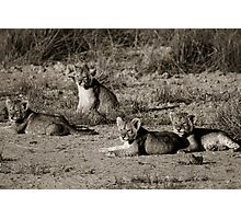 Lion cubs relaxing in the sun Photographic Print