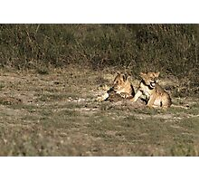 Two lion cubs in the sun Photographic Print