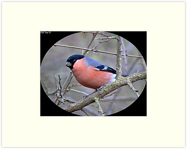 Bullfinch cameo by PHILI