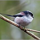Long tailed Tit by PHILI