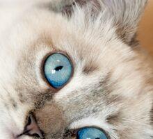 Blue Eyes Kitten Sticker