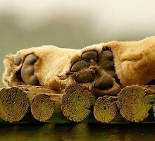 Lions paws by AntonAlberts