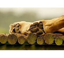 Lions paws Photographic Print