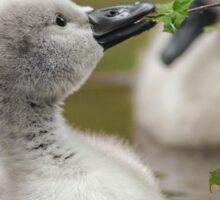 Mute swan cygnet Sticker