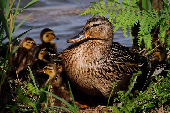 Ducks in the sun by Javimage