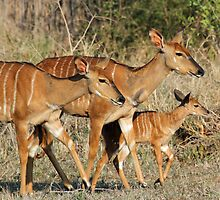 Nyala girls by jozi1