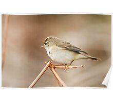 Willow Warbler on Bracken Poster