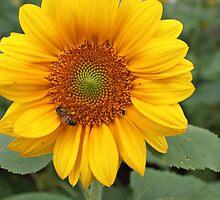 Beautiful sunflower by cristina22