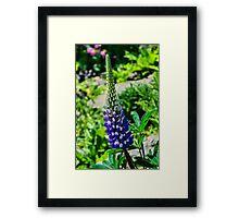 Blue Lupins Framed Print