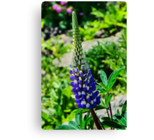 Blue Lupins Canvas Print