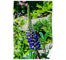 Blue Lupins Poster