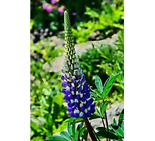 Blue Lupins Photographic Print