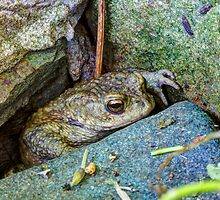 Common Toad by Alf Myers