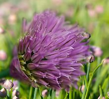 Chives - Allium schoenoprasum by jules572
