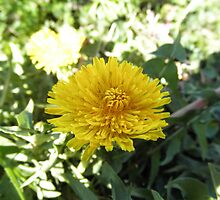 yellow Dandelion by ack1128