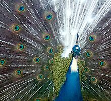 Peacock's Halo by karenclarke