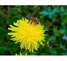 Dandelion and the Bee Photographic Print