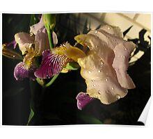 Fresh Iris Poster