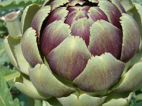 Artichoke by Cathy Jones