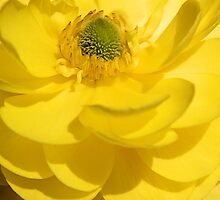 Sunny Yellow Ranunculus by Sharon Woerner