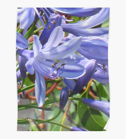 A blur of agapanthus  Poster