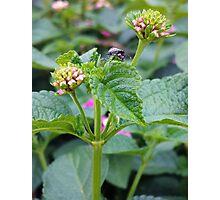 Lantana and the Stink Bug Photographic Print