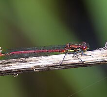 Large Red Damselfly by Gill Langridge