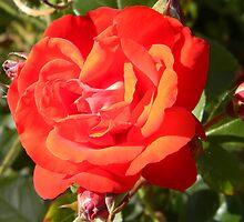 Beauty in bloom by SharnT