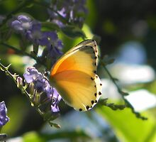 Butterly in sunlight by SharnT