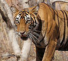 Ranthambore Tiger by Braedene