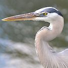 Great Blue Heron by Huckleberry20