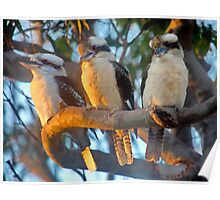 Kookaburras at Sunset Poster