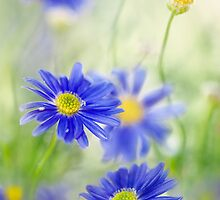 Daisies dear by Mandy Disher