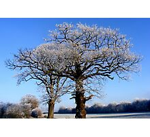 Oak Trees in Winter Photographic Print