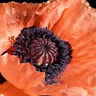 Poppy. by Lee d'Entremont