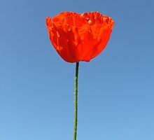 Poppy in the Sky by KUJO-Photo