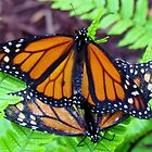 Butterflies Mating by Cynthia48