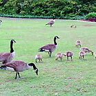 Goose Families by Cynthia48