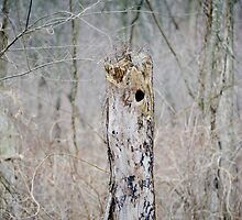 Woodpecker hole  by AmbientPhotos