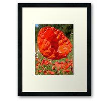 Red Field Poppy Framed Print
