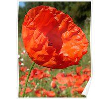 Red Field Poppy Poster