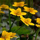 Marsh Marigolds by Nicole DeFord