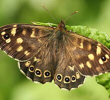Speckled wood butterfly on dock leaf by Rivendell7