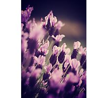 Lavender is for lovers true  Photographic Print