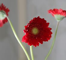 red gerber daisies by jomaot