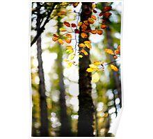Autumn, Beech Leaves, Scottish Borders Poster