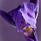 Purple Iris 1 by Jacinthe Brault