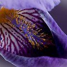 Purple Iris 2 by Jacinthe Brault
