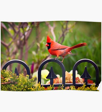 Male Red Cardinal in the Garden Poster